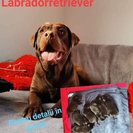 Puppies Labradorretriever