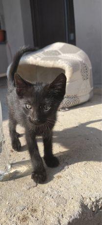 Pisici adoptie Adjud