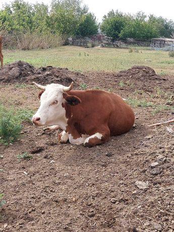 Животные,коровы, крупный рогатый скот