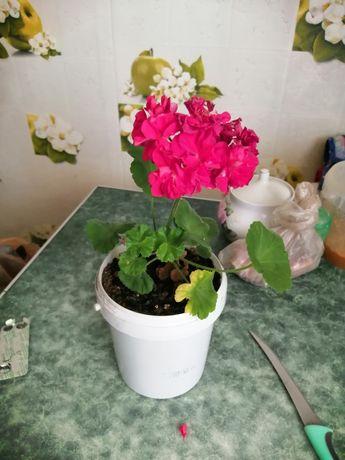 Продаю цветок герани