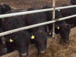 Крс бычки телята тёлки акбас герефорд белоголовые Коровы ангус нители