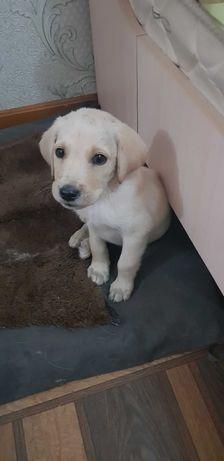 Продается щенок лабрадора
