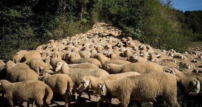 Продаётся бараны ягнята овцы