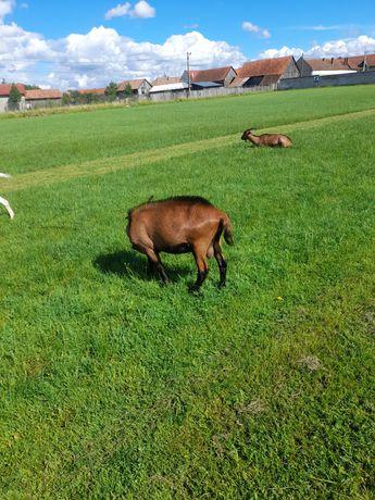 Vând urgent capre Alpine franceze