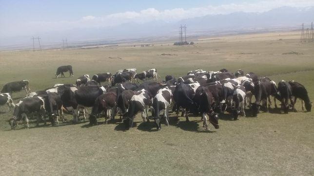 Голштино-фризские коровы