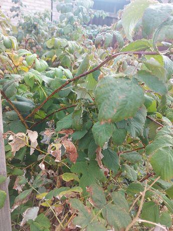 Саженцы малины , 500 тг