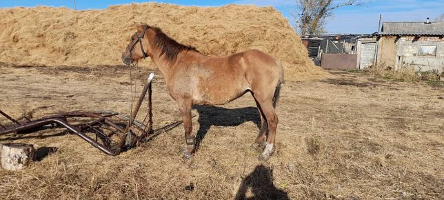 продам лошадь 10 лет