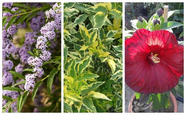 arbusti decorativi de gradina soc, hibiscus, arborele fluturilor