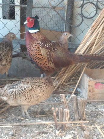 Фазан охотничий молодняк.. инкубационные яйца охотничий фазан