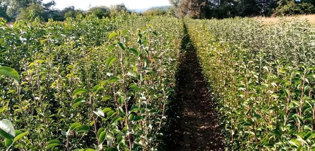 Pomi fructiferi vita de vie trandafiri calitatea 1 de la producător
