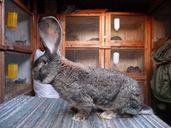 Зайци Белгийски великан