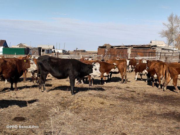 КРС, коровы, телята, бычки