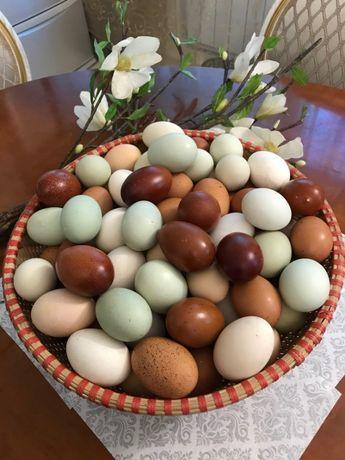 Инкубационное яйцо породных кур Амераукан
