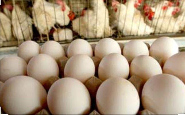 Яйцо бройлера инкубационные по 100 тенге