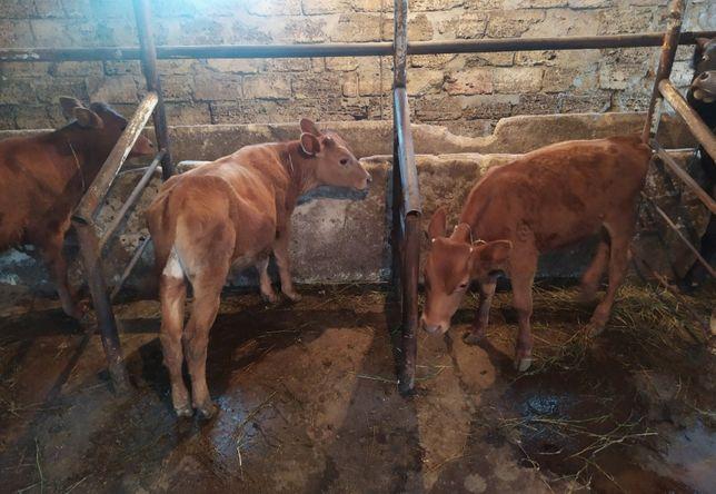 Продам коровы телята ангуст и другие породы