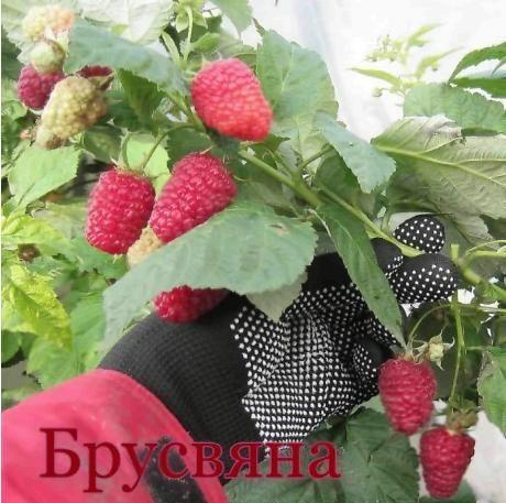 Саженцы ремонтантной малины Брусвяна в Усть-Каменогорске