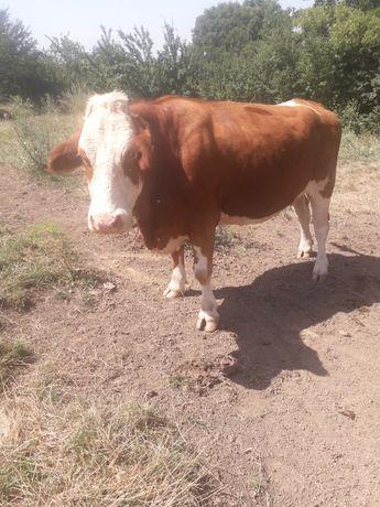 Vaca si   junica