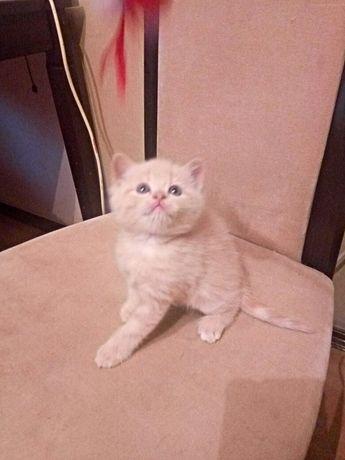 Шикарные котята шоу-класса!