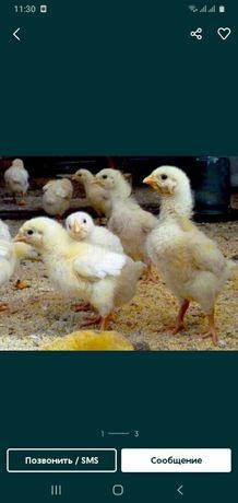 Продам цыплят бройлера