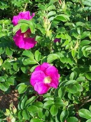 продам взрослый куст розового шиповника
