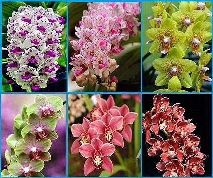 Орхидея,микс 50 семена.Внос от Холандия