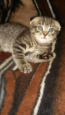 Продается вислоухий котенок