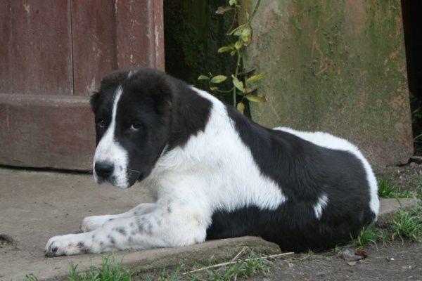 Вязка собак порода алабай и восточно-европейская овчарка