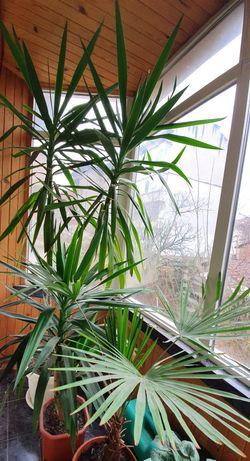 Две палми Драцена