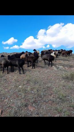 Овцы, бараны по 55,000