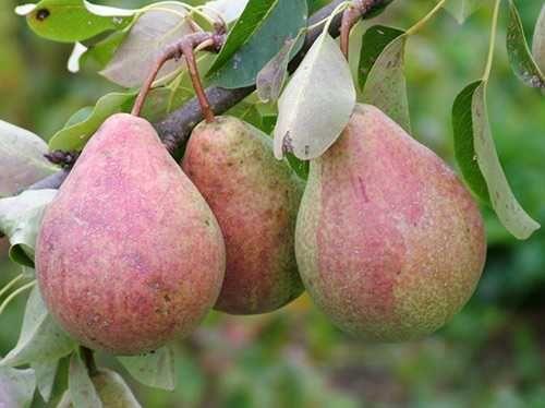 Плодовые деревья с комом земли - 100% приживаемость