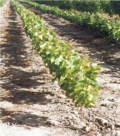 Pepiniera viticola vinde butasi vita de vie Breaza - imagine 1