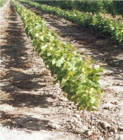 Pepiniera viticola vinde butasi vita de vie