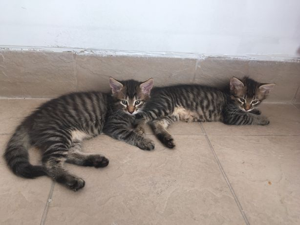 Vand Pui pisica Bengaleza/Norvegiana