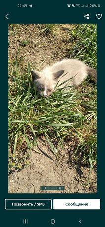 Котенок мальчик белого окраса