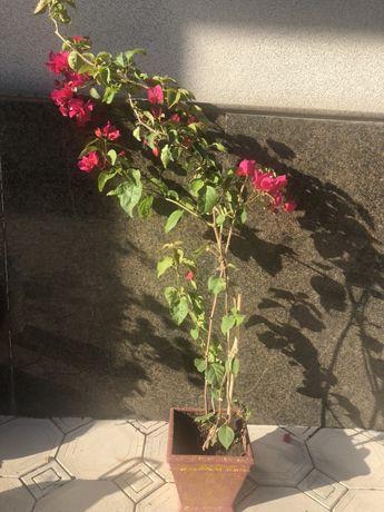 Продам цветы бугенвиллия