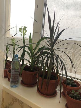 Драцена (4500тг) пальмовое растение, цветы гул, комн растения