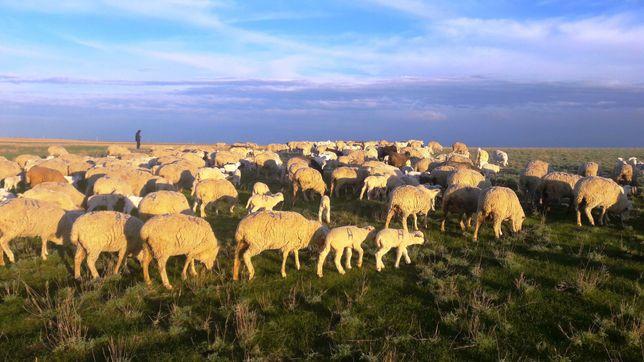 продам козы с козлятами и без козлят, меринос, коровы