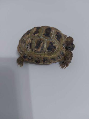 Продам черепаху сухопутную, молодую