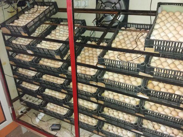 Цыплята бройлер суточные и подрощенные Кобб 500 и Росс 308