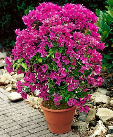 Bouganvillea -Floare de Hartie