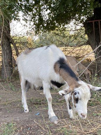 Коза с козленком(пародистые)