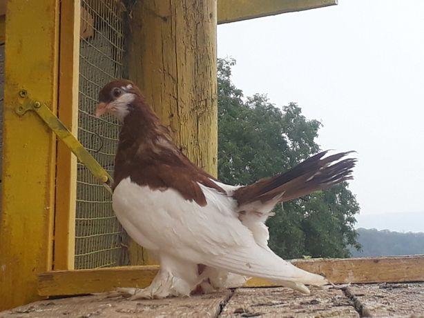 Porumbei tremurături de Wolga