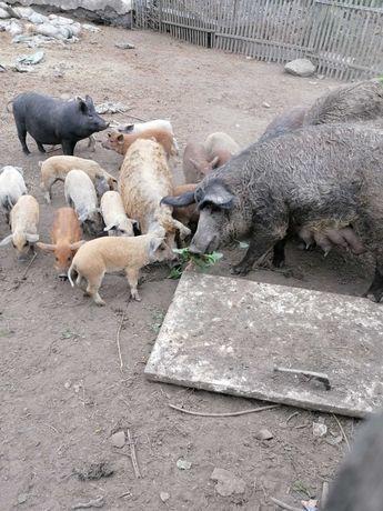 Мясо свинина венгерская мангалица