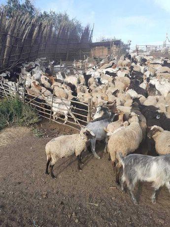 Vand 200 de capre si 100 de oi