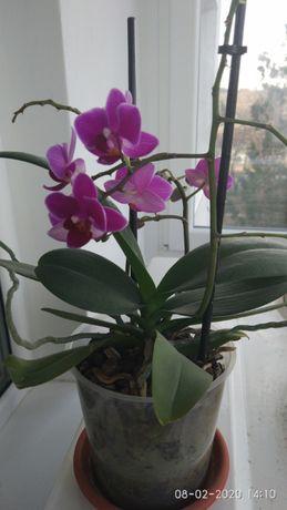 Мини орхидея, бяла орхидея и бяло каланхое