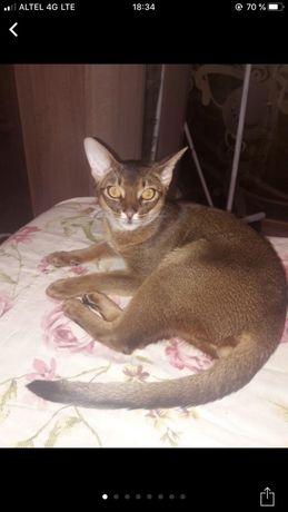 Чистокровный абиссинский кот. Вязка