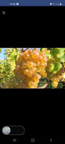 Vand struguri de vin diferite soiuri producție 2021Transport gratuit î