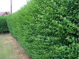 Gard viu cu crestere rapida ( lemn cainesc, ligustrum, ulmus, carpen )