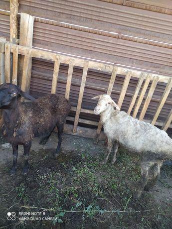 Овцы матки 2 шт срочно