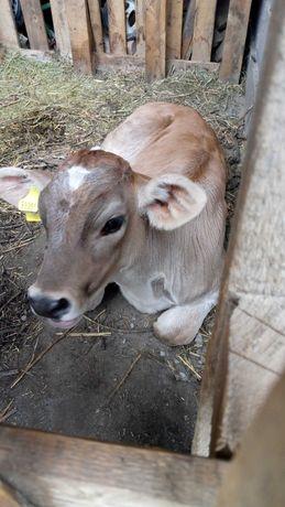 Продам алатауского теленка бычка или обмен на сено